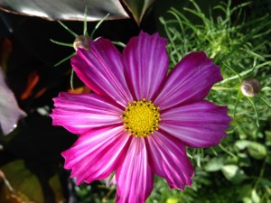 This Cosmos makes me smile!!