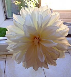 Large white Dahlia - stunning.