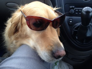 """""""Hey dudes, I'm totally rockin these shades!"""" Bud on 6 hour car journey. She's one cool cat - I mean dog!!"""