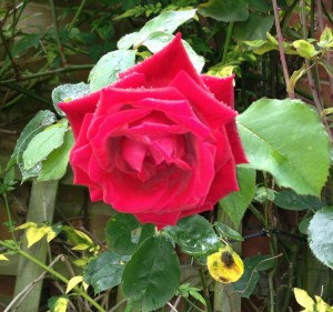 A beautiful rose, blooming in the rain!